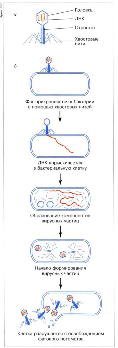 Бактериофаг Т4: а - схема
